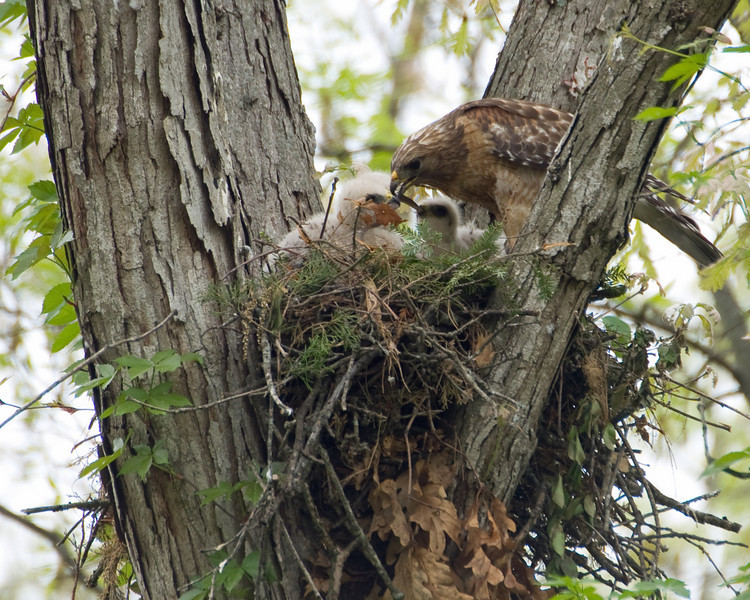 Feeding Red Shoulder Hawk Nest.jpg