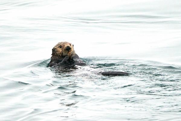 Sea Otters Kodiak Alaska August 2020