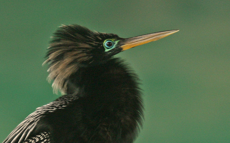 Anhinga breeding plumage, Sarasota Florida