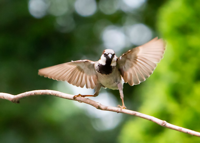 Sparrow's Aggressive Stance Against a Nearby Blue Jay