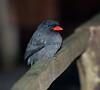 Black-Fronted Nunbird (1)-579622914-O