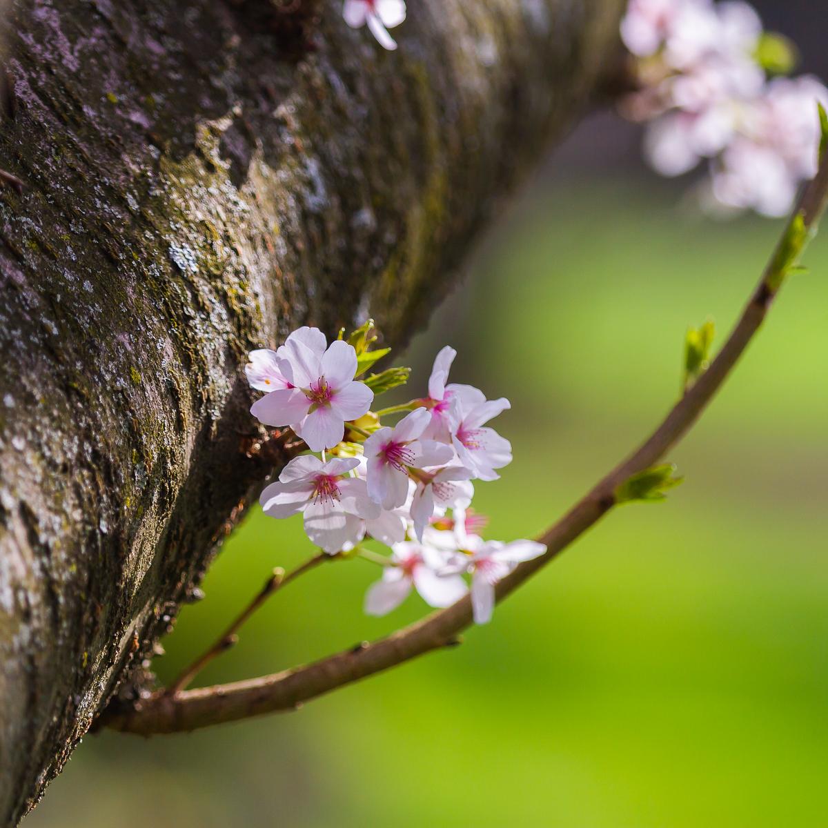 樱花开满枝