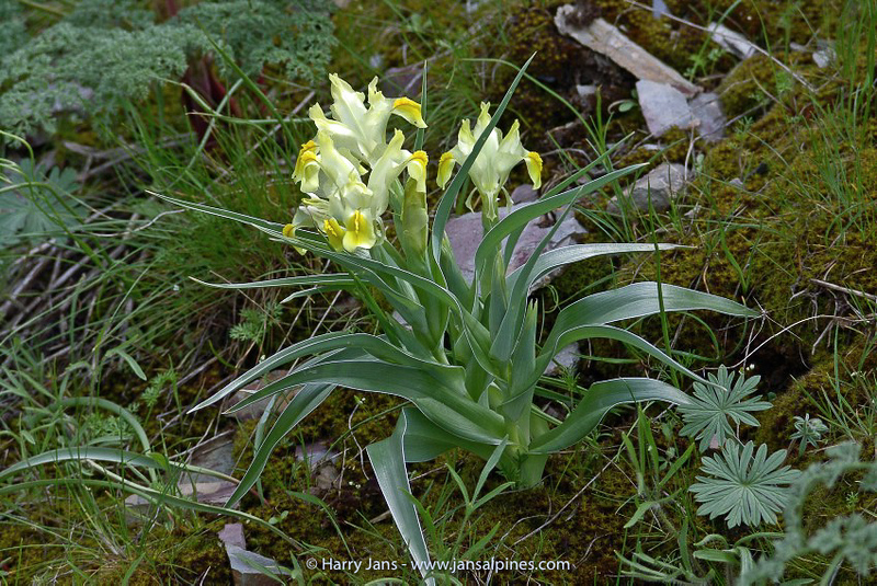 Iris maracandica