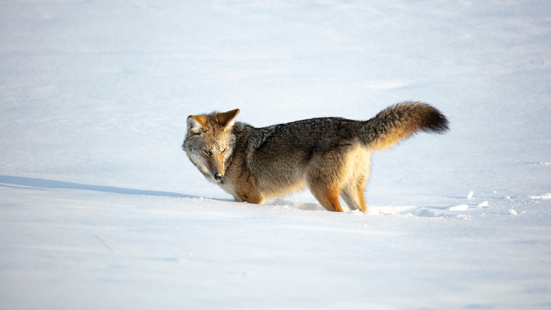 387A0095 Coyote half turned.jpg