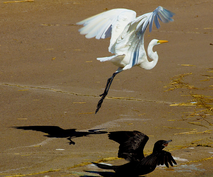 Great Egret taking flight over a Cormorant.  Brays Bayou