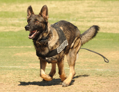 """10-19-12 Sheriff""""s Dogs at Rods and Relics Car Show"""