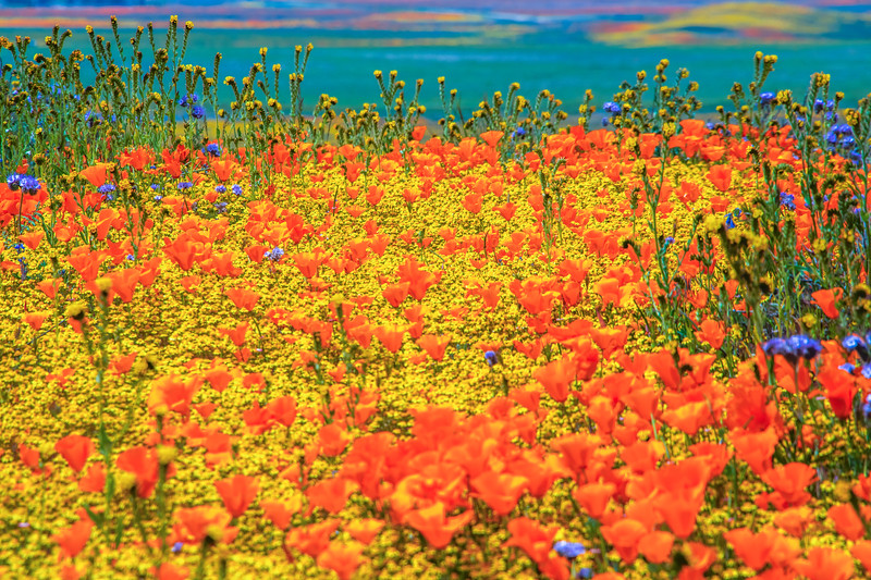 Spring Symphony Antelope Valley Magnum Opus #4: Antelope Valley Poppy Reserve Wildflowers Superbloom Fine Art Landscape Nature Photography: California Fine Art Landscape Nature Photography