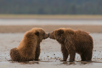 Alaska 2017 Bears
