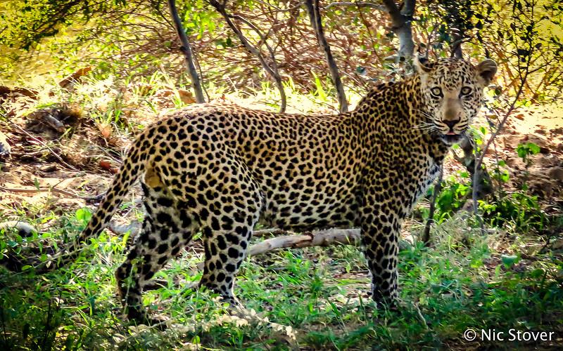 Full Leopard.jpg