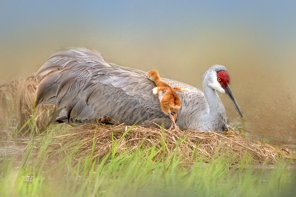 2019 Sandhill Crane Family in       Central Florida