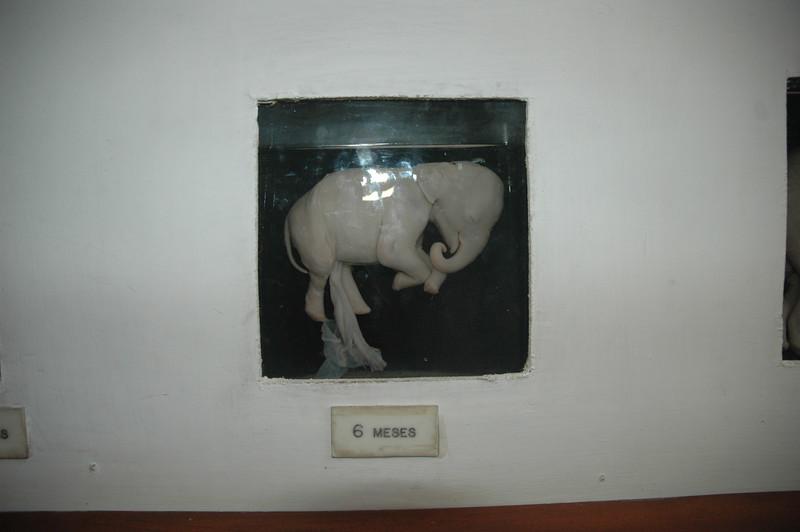 Elephant fetus in Maputo museum - Leslie Rowley