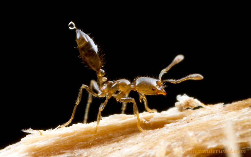 Solenopsis sp.