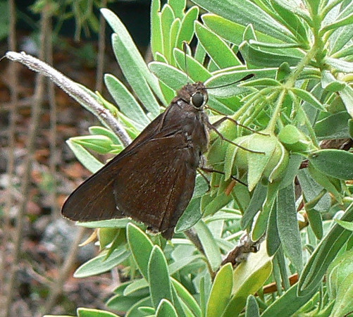 DotMMonkSkpr545 May 23, 2007  9:52 a.m.  P1010545 Monk Skipper in Mark Minno's yard. First Cutler Ridge at Ch.Deering Estate