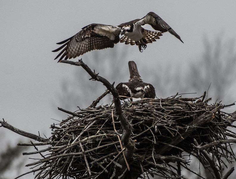 Osprey pair after mating
