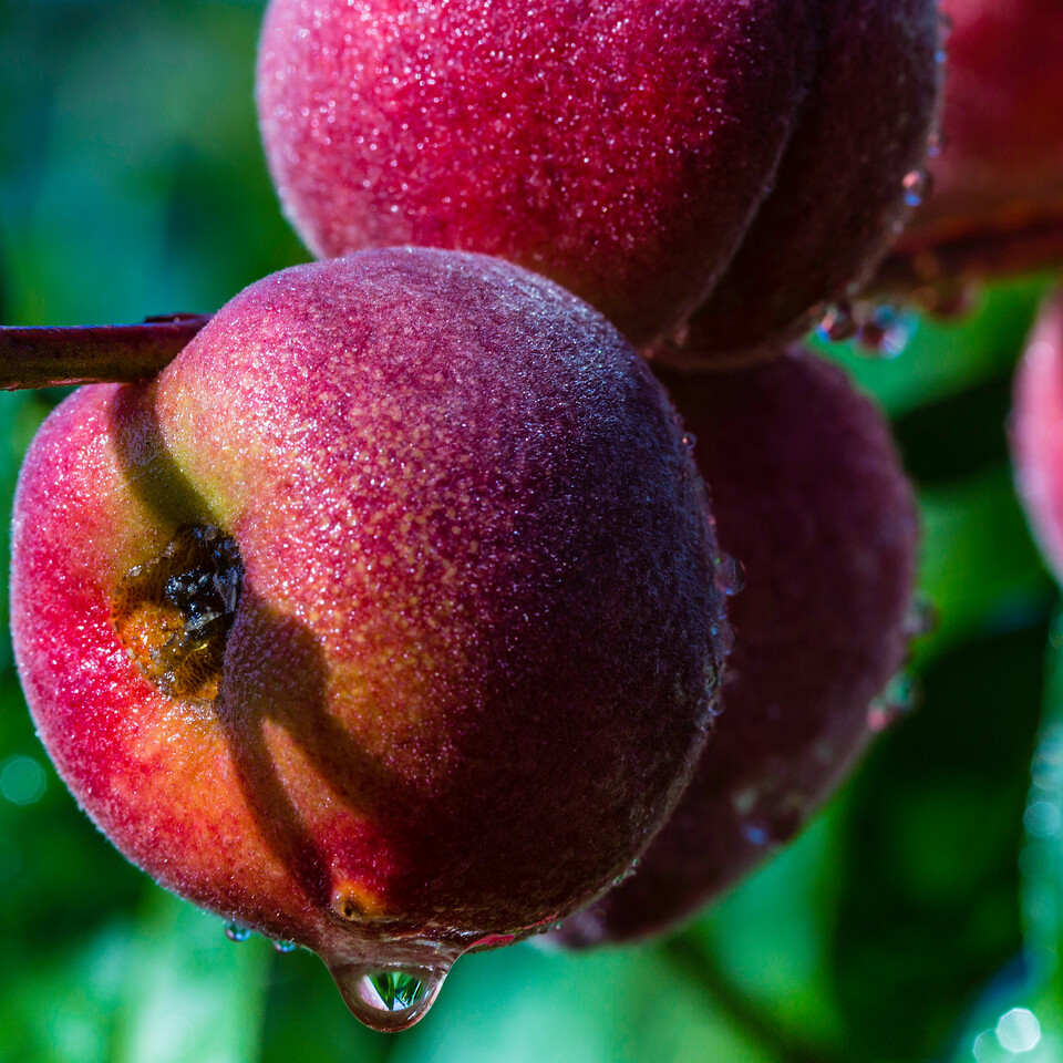 Peaches in the Rain