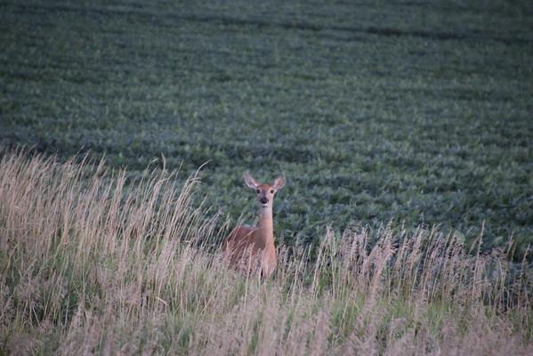 Deer in Morning