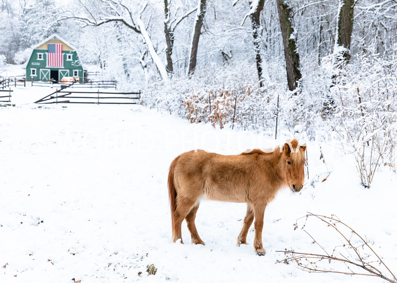 202101032021_1_3 Neighborhood_Horses_Snow_Barn_Trail043--8.jpg