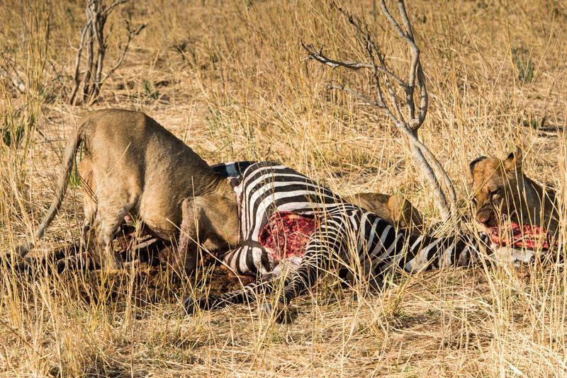 Lions feeding on Zebra