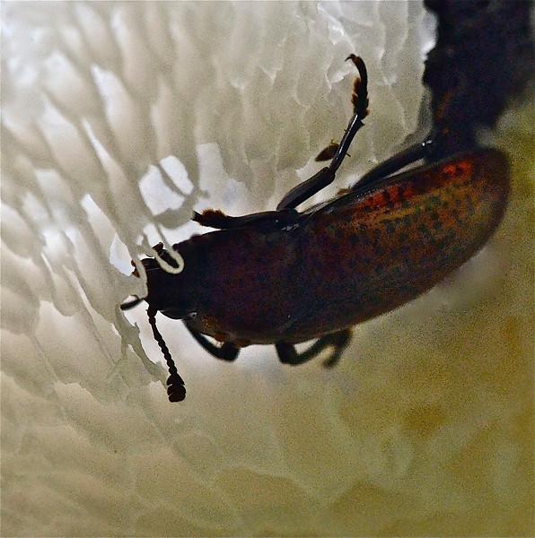 Beetle eating fungi