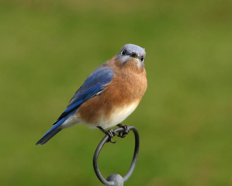 bluebird_4523.jpg