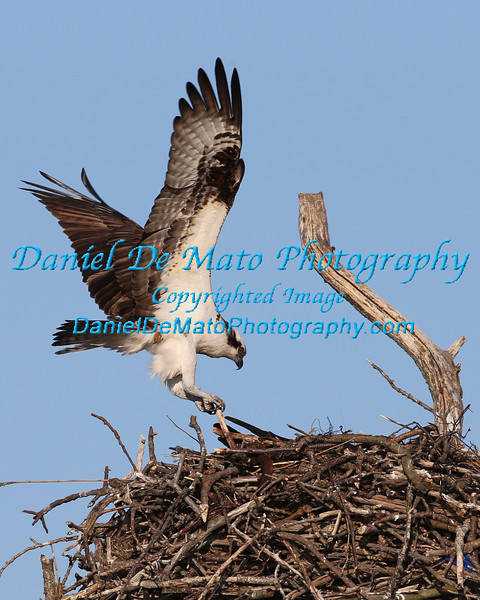 Osprey's, Waterfowl and Shore Birds 4-21-13