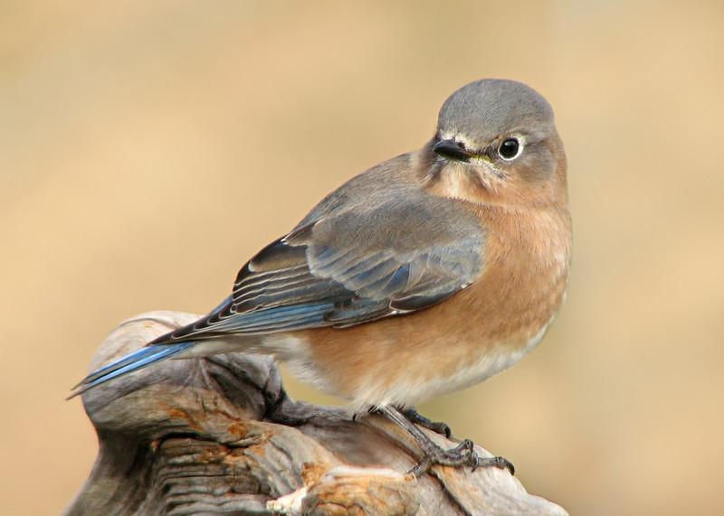 bluebird_1515.jpg