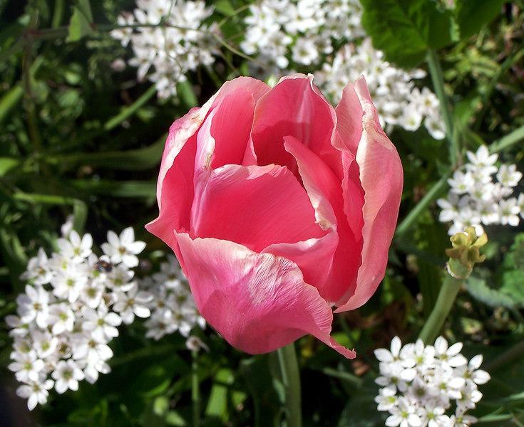 A flower in Mrs. McIntyre's garden.