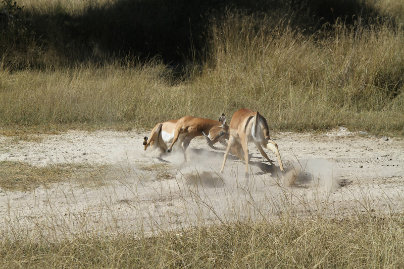 Impala fight to the death