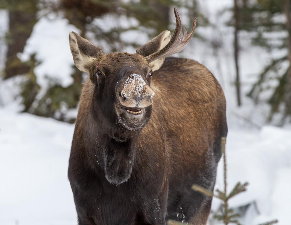 Moose - Banff National Park