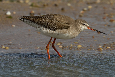 Spotted Redshank  (Archibebe oscuro)