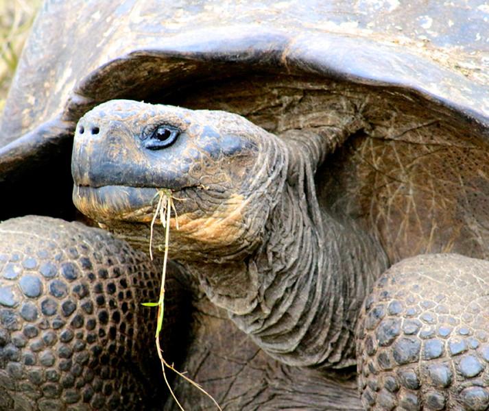 Galapagos Tortise_Pat Hoffman.jpg