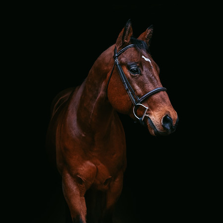Equine Portraiture