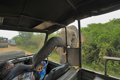 Elephant raiding a tourist vehicle for food