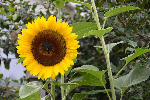2012 Sunflowers in my Garden