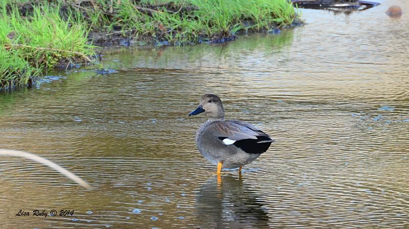 Gadwall - 12/14/2014 - Poway Creek