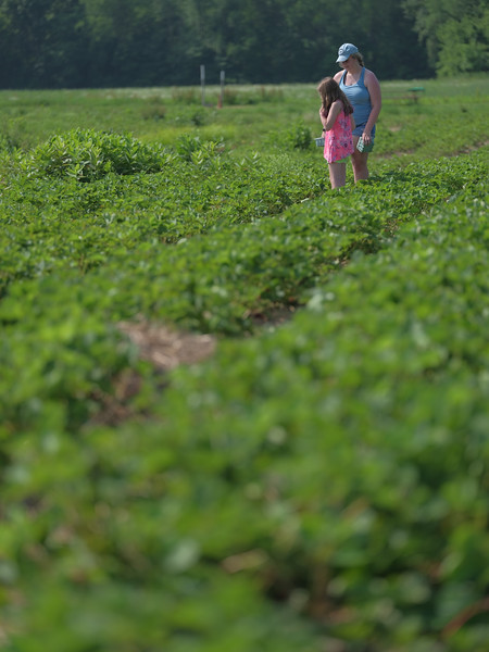 June 17, 2018 - Strawberry Picking for Fathers Day-209.jpg