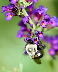 7/27/17 Butterflies, Bee, and Hummingbird Moth