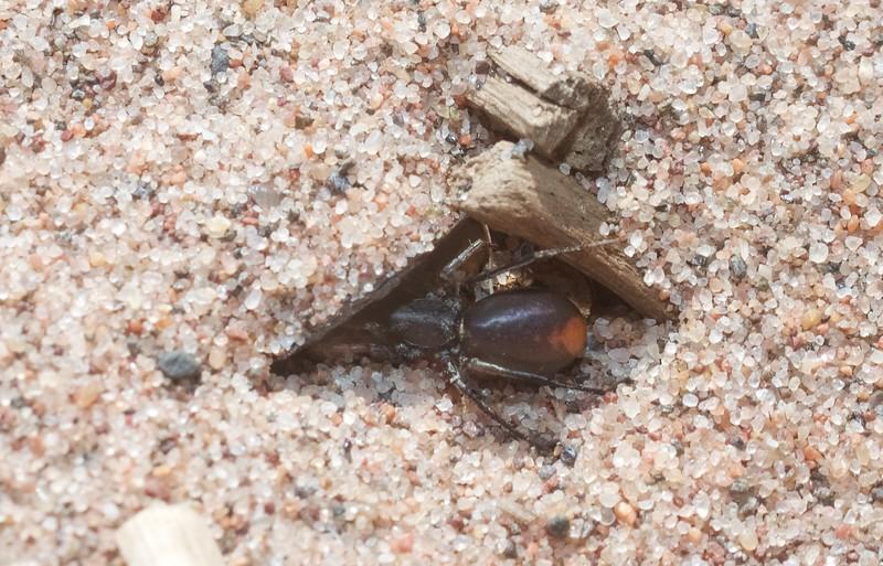 Castianeira descripta Redspotted Antmimic Park Point Duluth MN IMG_5280.jpg