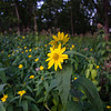 Gov_Nelson_SP-Yellow_Flowers-1