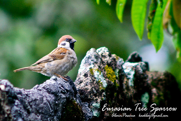 White-Eyes, Sparrows, Munias