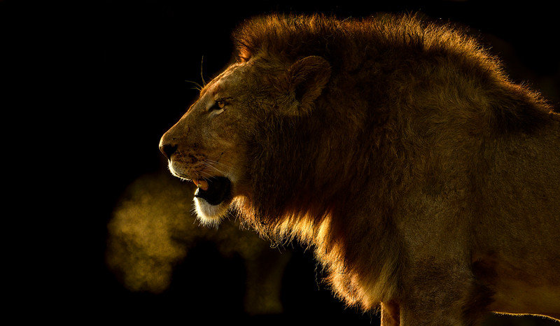 Early-morning-breath-lion-Ngorongoro-Tanzania-3.jpg