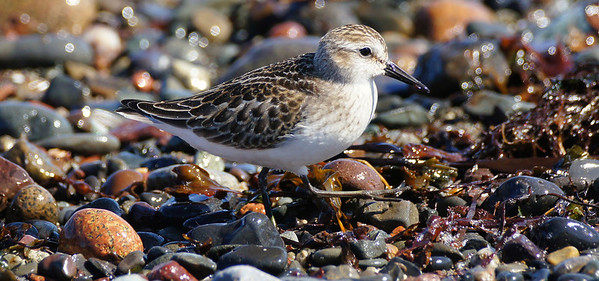 More sandpipers