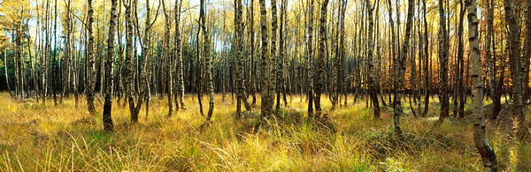 Birch forest on a sunny autumn day