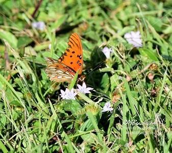 2016 Butterflies - Dragonflies
