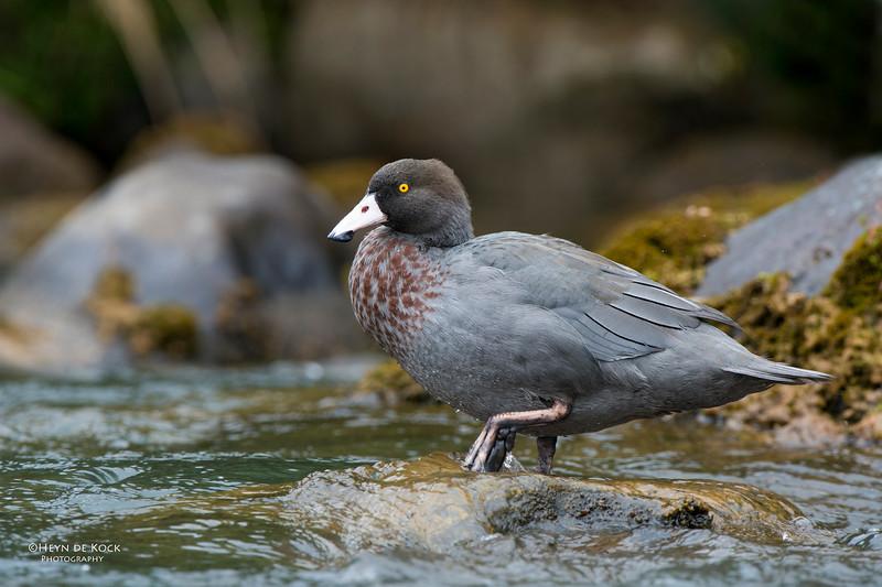 Blue Duck, Tongariro NP, NI, NZ, March 2015-4.jpg