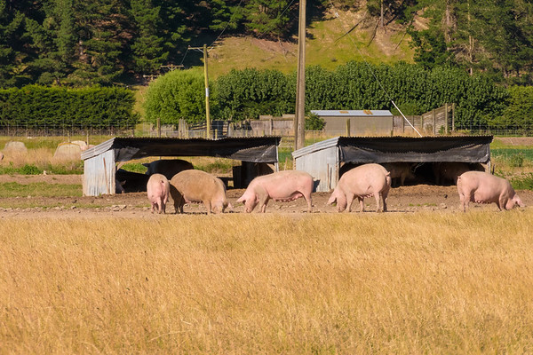 Pigs of Newzealand