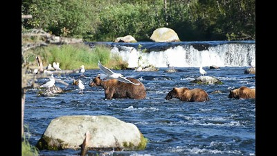 BEARS at Brooks Falls, ALASKA   with sound