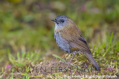 Black-billed Nightingale-thrush, Costa Rica