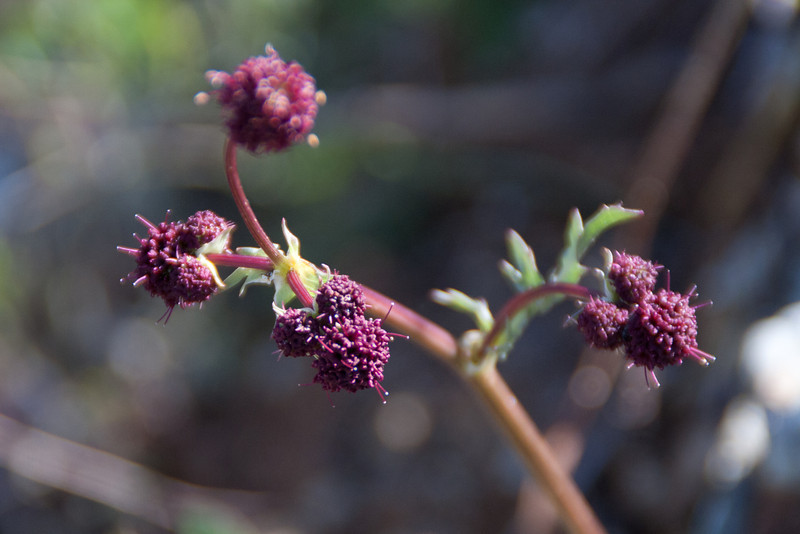 Purple sanicle (Sanicula bipinnatifida). This flower is native and one of the food sources of the Bay Checkerspot.