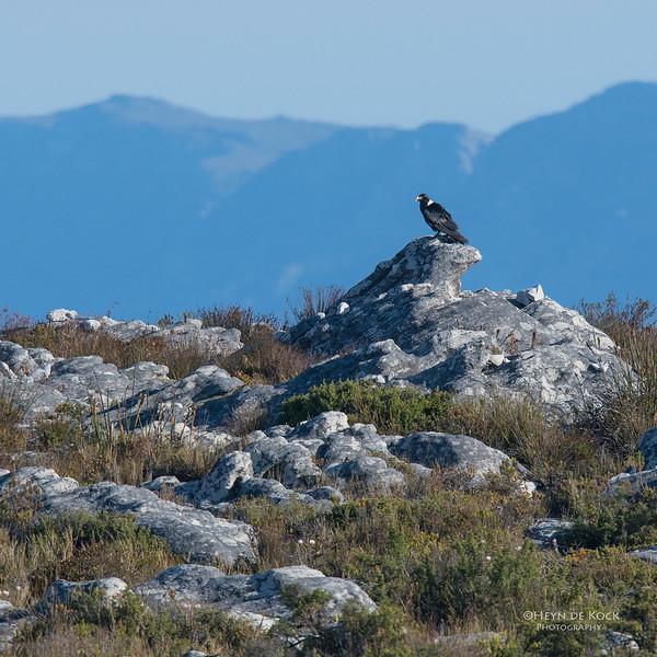 White-necked Raven, Table Mountain, WC, SA, Sept 2016-4.jpg